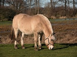 Hest (Equus caballus)